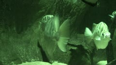 Fish at sea bed in infra-red light 5 - stock footage