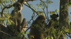 Savannah Baboons sitting in tree in Niassa Reserve, Mozambique. Stock Footage