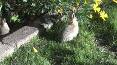 Backyard Bunnies 2 Stock Footage