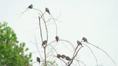 Mourning Dove Tree - stock footage