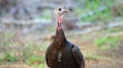 Wild Turkey Hen Stock Footage