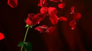 Stock Video Footage of Red rose, Slow Motion