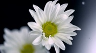 Daisy and water droplet, Slow Motion Stock Footage
