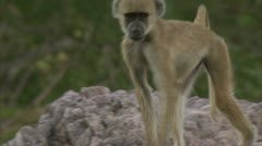 Young Savannah Baboon walking in Niassa Reserve, Mozambique. Stock Footage
