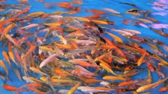 Crazy Colorful Tropical Fish Stock Footage