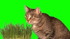 Cat eats grass (close up) Stock Footage