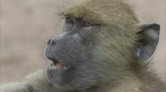 Young Savannah Baboon eating in Niassa Reserve, Mozambique. Stock Footage