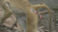 Adult, young and infant Savannah Baboons sitting in Niassa Reserve, Mozambique. - stock footage