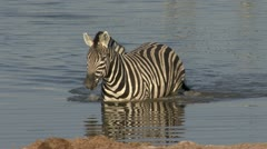 Zebra walking in pool Stock Footage