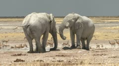 Two white elephants playing/pushing each other Stock Footage