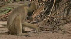 Young Savannah Baboon foraging / eating in Niassa Reserve, Mozambique. Stock Footage
