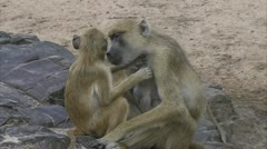 Female adult and young Savannah Baboons grooming in Niassa Reserve, Mozambique. Stock Footage