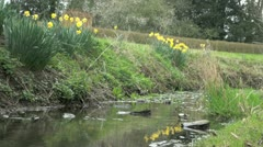 Water Gently Flowing in a Stream with Yellow Daffodils on the Bank Stock Footage