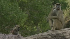 Infant and adult Savannah Baboons in Niassa Reserve, Mozambique. Stock Footage