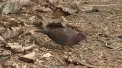 Laughing Dove savaging for food Stock Footage
