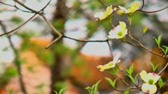 dogwood bloom and river rapids 02 - stock footage