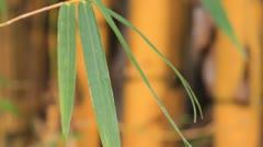 Yellow bamboo. Stock Footage