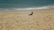 Crow on  the Beach Stock Footage