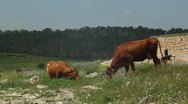 Cows eating in the Field Stock Footage
