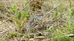 Chipping Sparrow - stock footage