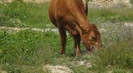 A cow eating in the Field Stock Footage