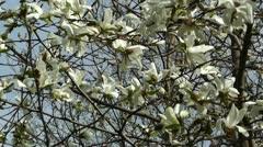Liriodendron Tulip Tree 01 spring Stock Footage