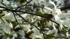 Liriodendron Tulip Tree 02 spring Stock Footage