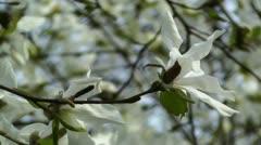 Liriodendron Tulip Tree 03 spring Stock Footage