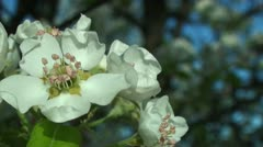 Harvest Queen Pear flowers Stock Footage