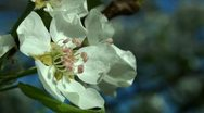 Close up of Harvest Queen Pear flower Stock Footage