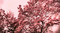 Liriodendron Tulip Tree 09 spring stylized Stock Footage