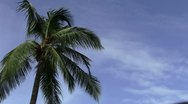Coconut Tree Stock Footage