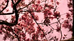 Liriodendron Tulip Tree 11 spring stylized Stock Footage