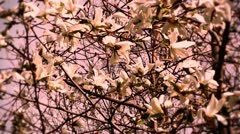 Liriodendron Tulip Tree 14 spring stylized Stock Footage