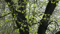 Stock Video Footage of Springtime Sycamore Trees 02