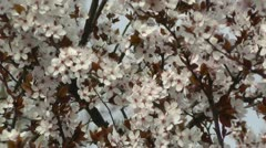 Springtime Tree in Blossoms 01 - stock footage