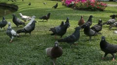 Pigeons in the park Stock Footage