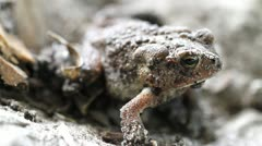 Toad Macro Shot Five Stock Footage