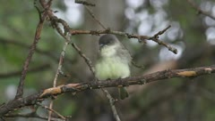 Eastern Phoebe (Sayornis phoebe) preening in a tree on a branch Stock Footage