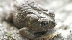 Toad with Red Ant on it Macro Shot Stock Footage