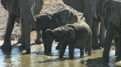 Elephant baby drinking Stock Footage