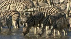 Zebras drinking at pool - stock footage