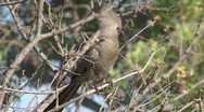Grey Go Away bird Flying of Stock Footage
