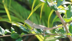 Thai lizard on tree branch. Stock Footage