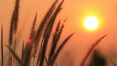 Grass flower in sunset, Orange sky nd sun background. Stock Footage