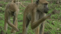 Adult and young Savannah Baboons eating in Niassa Reserve, Mozambique. Stock Footage