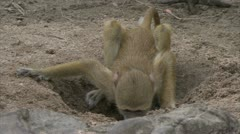 Young Savannah Baboon drinking water. Niassa Reserve, Mozambique. - stock footage