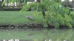 Monitor Lizard Catches A Fish Stock Footage