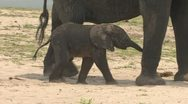 Stock Video Footage of Baby Elephant walking