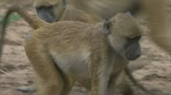 Adult Savannah Baboons with young, playing. Niassa Reserve, Mozambique. Stock Footage